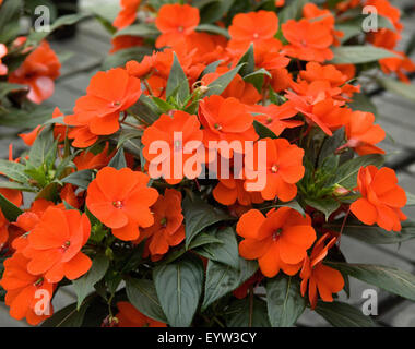 Impatiens neuguinea - Stock Photo