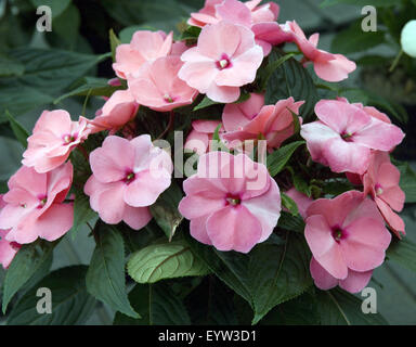Fleissiges Lieschen; Impatiens balsamina - Stock Photo