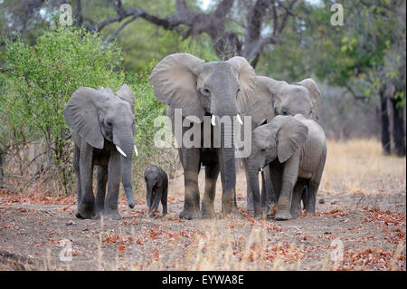 African Elephants (Loxodonta africana), family group, different ages, South Luangwa National Park, Zambia - Stock Photo