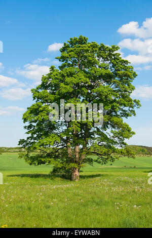 Old Field Maple (Acer campestre), Thuringia, Germany - Stock Photo
