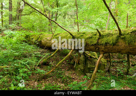 Deadwood, Norway Spruce (Picea abies), Vessertal-Thuringian Forest biosphere reserve, Thuringia, Germany - Stock Photo