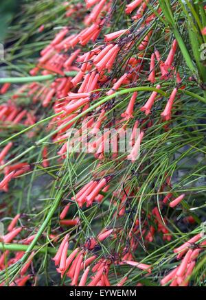 Springbrunnenpflanze; Russelia equisetiformis - Stock Photo
