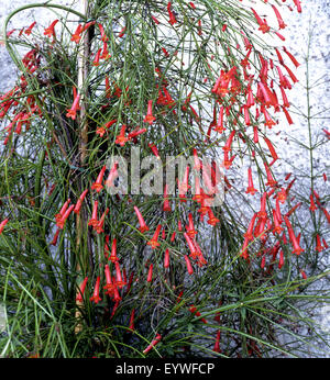 Springbrunnenpflanze, Russelia equisetiformis - Stock Photo