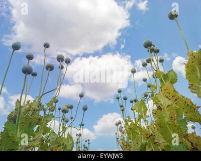 Opium poppy (Papaver somniferum) seed heads shot from below against  beautiful cloudy sky - Shallow central focus - Stock Photo