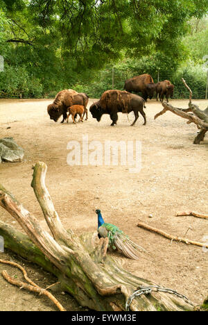 Buffalos and a peacock at zoo of Zurich on Switzerland - Stock Photo