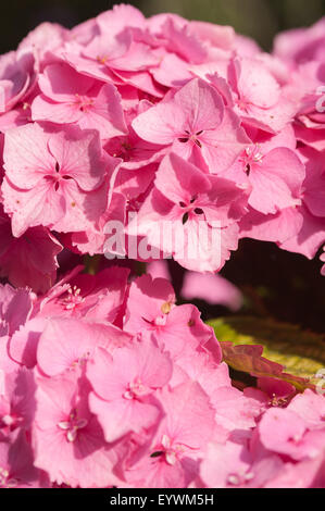 vivid rich candy pink color of globe flowers of Hydrangea seemingly endless summer flower - Stock Photo