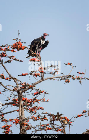 Red-headed vulture (Asian king vulture) (Indian black vulture) (Pondicherry vulture), Ranthambhore, Rajasthan, India, - Stock Photo