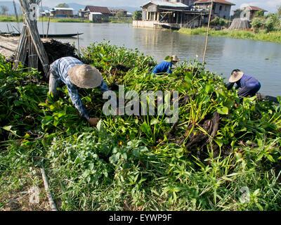 Local farmers work in floating gardens on Inle Lake, Shan State, Myanmar (Burma), Asia - Stock Photo