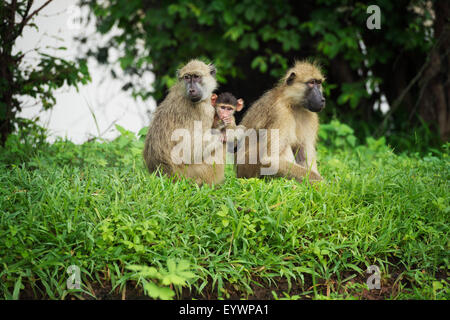 Mother and baby yellow baboon (Papio cynocephalus), South Luangwa National Park, Zambia, Africa - Stock Photo