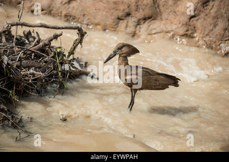 Hamerkop (Scopus umbretta), South Luangwa National Park, Zambia, Africa - Stock Photo