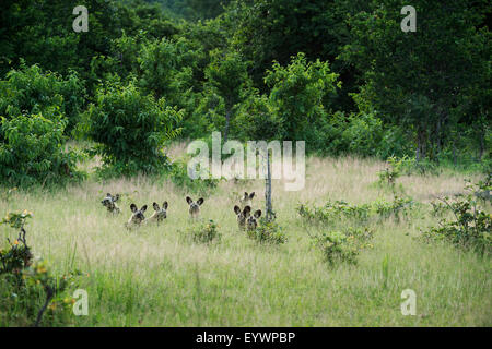 Pack of African wild dogs (painted dog) (Cape hunting dog) (Lycaon pictus), South Luangwa, Zambia, Africa - Stock Photo