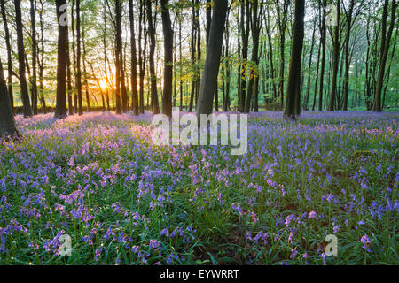 Bluebell wood, Stow-on-the-Wold, Cotswolds, Gloucestershire, England, United Kingdom, Europe - Stock Photo