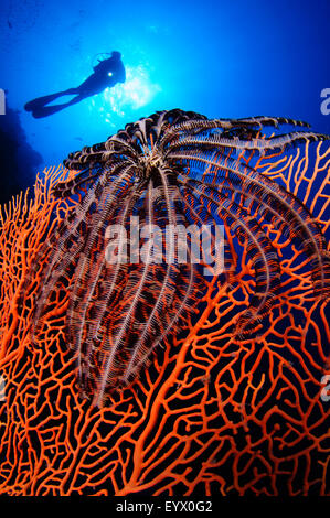 A black crinoid on a Gorgonian seafan with a diver silhouetted in the background, Layang Layang, South China Sea, - Stock Photo
