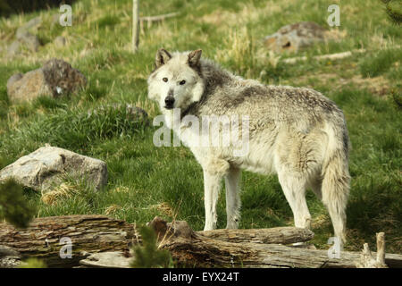 Gray Wolf pausing in meadow. - Stock Photo