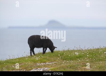 Black Sheep grazing. Domestic breed originally from The Netherlands. On Staffa  Scotland. Island, Dutchman's Cap - Stock Photo