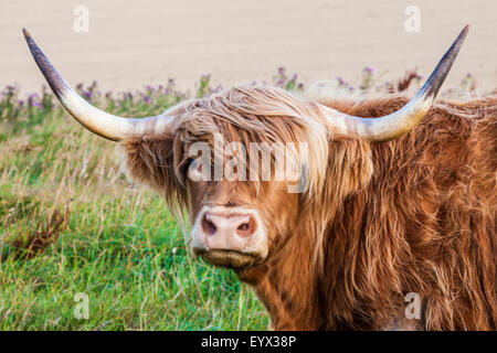 Portrait of a Highland cow,Bos taurus, along the Ridgeway in Wiltshire. - Stock Photo