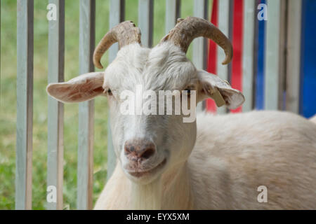Smirking adult goat with horns in pen behind fence - Stock Photo