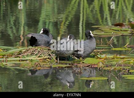 Coots-Fulica atra,  on nest. Summer. Uk - Stock Photo