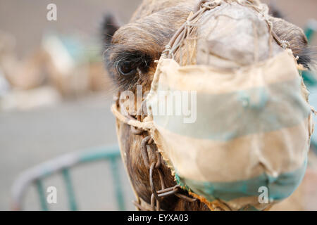 A close up facial shot of a mean looking camel. Its wearing a spit guard and part of a train used to transport tourists - Stock Photo