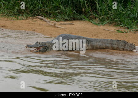 An alert, poised Caiman in the Pantanal,  Mato Grosso Do Sul region of Brazil - Stock Photo