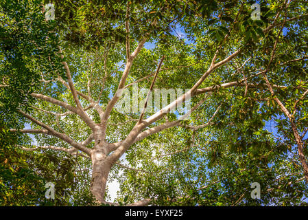 Looking up at the canopy of the jungle in the Amazon rain forest near Iquitos, Peru - Stock Photo