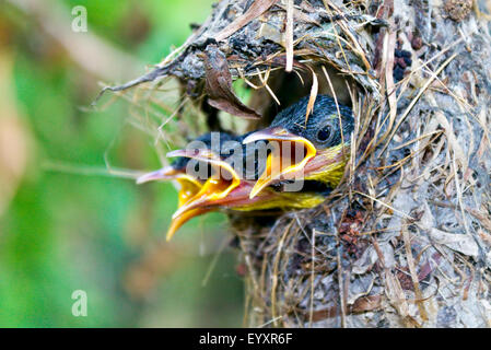 Bird Chicks. close up of three baby birds calling their mom in hunger and fear!! - Stock Photo