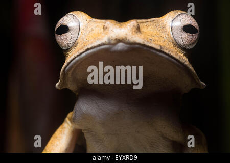 A File Eared Tree Frog (Polypedates otilophus) from Borneo. - Stock Photo