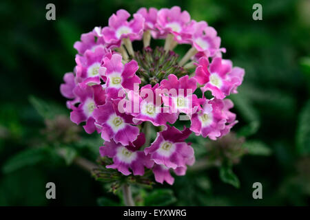 Lantana Camara Flower Shot Outdoor. - Stock Photo