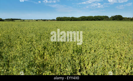 A large field of green peas growing with a line of trees on the horizon against a blue sky Norfolk England - Stock Photo