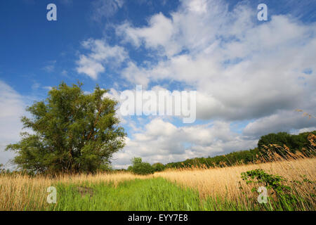 reed grass, common reed (Phragmites communis, Phragmites australis), clouds and fringe of reeds in marshland, nature - Stock Photo