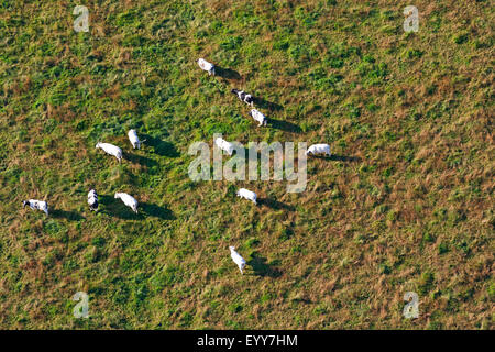 domestic cattle (Bos primigenius f. taurus), aerial view to cows on pasture, Belgium, Flanders - Stock Photo