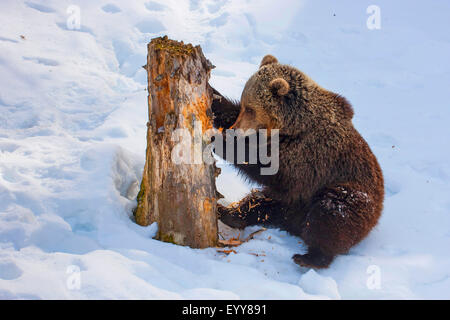brown bear (Ursus arctos), juvenile brown bear in the snow scratching at an old tree trunk, Switzerland, Waadt, - Stock Photo