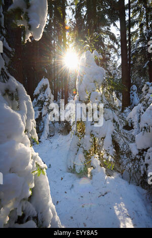 Norway spruce (Picea abies), snowy Norway spruce forest on a sunny day in winter, Germany, Bavaria - Stock Photo