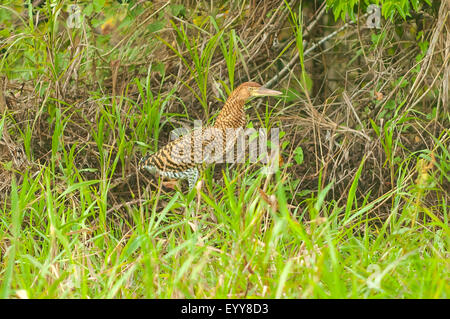 Tigrisoma lineatum, Juvenile Rufescent Tiger Heron, Araras Lodge, Pantanal, Brazil - Stock Photo