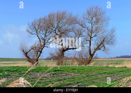 willow, osier (Salix spec.), three willows in polder landscape, Germany, Lower Saxony, Cuxhaven - Stock Photo