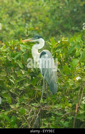 Ardea cocoi, White-necked Heron, Transpantaneria Highway, Pantanal, Brazil - Stock Photo