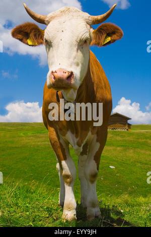domestic cattle (Bos primigenius f. taurus), cow on an alpine pasture, Austria - Stock Photo