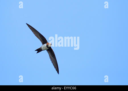 alpine swift (Apus melba, Tachymarptis melba), flying, Bulgaria, Kaliakra - Stock Photo