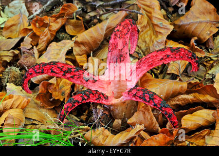 Devil's fingers, Devil's claw fungus, Giant stink horn, Octopus stinkhorn (Anthurus archeri, Clathrus archeri), - Stock Photo