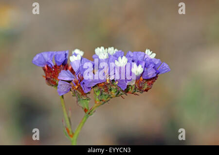 sinuata statice, perennial sea-lavender, winged sea-lavender, wavyleaf sea-lavender (Limonium sinuatum), blossom, - Stock Photo