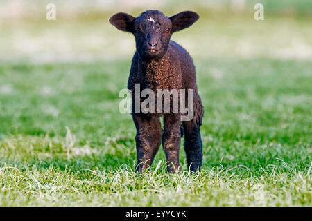 domestic sheep (Ovis ammon f. aries), black-brown lamb standing in a meadow, Germany, North Rhine-Westphalia - Stock Photo