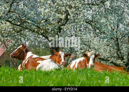 domestic cattle (Bos primigenius f. taurus), cows ruminating on grass before blooming cherry trees, Germany, North - Stock Photo