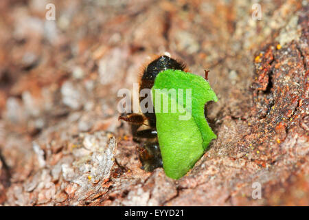 Leafcutter bee (Megachile lapponica), brings a piece of leaf in its nest, Germany - Stock Photo