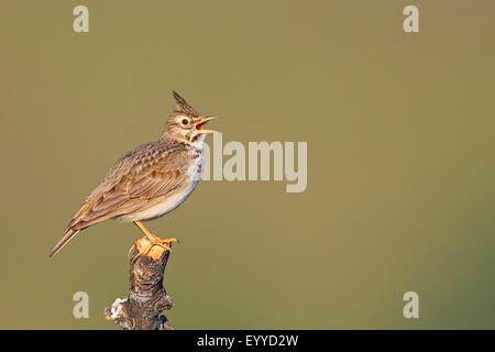 crested lark (Galerida cristata), singing on a pole, Greece, Lesbos - Stock Photo