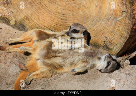 suricate, slender-tailed meerkat (Suricata suricatta), two suricates snuggling with each other - Stock Photo
