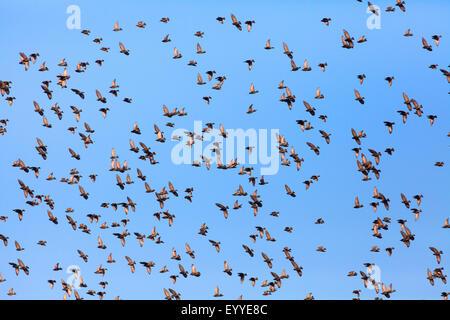 common starling (Sturnus vulgaris), flying flock in the sky, Germany - Stock Photo