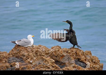 shag (Phalacrocorax aristotelis desmarestii), sits on a rock and beats the wings, Greece, Lesbos - Stock Photo