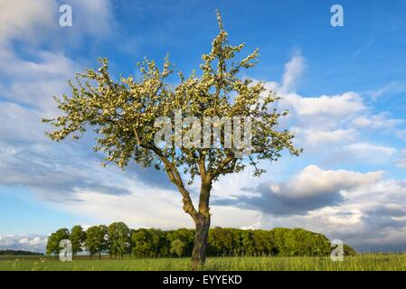Apple tree malus domestica single tree with mature for Domestica in svizzera