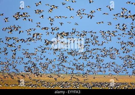 barnacle goose (Branta leucopsis), flying flock, Netherlands, Frisia - Stock Photo