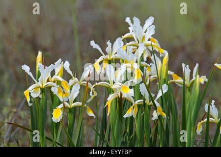 Oriental Iris (Iris orientalis), group of flowering iris, Greece, Lesbos - Stock Photo